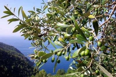 IGP dell'olio di Calabria, a breve il riconoscimento ufficiale della UE