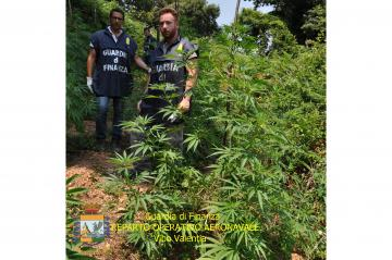 GDF Vibo Valentia e Lamezia scoprono e sequestrano piantagione di canapa indiana